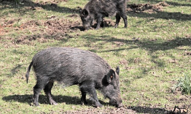 Feral Hogs Menacing Southern Missouri
