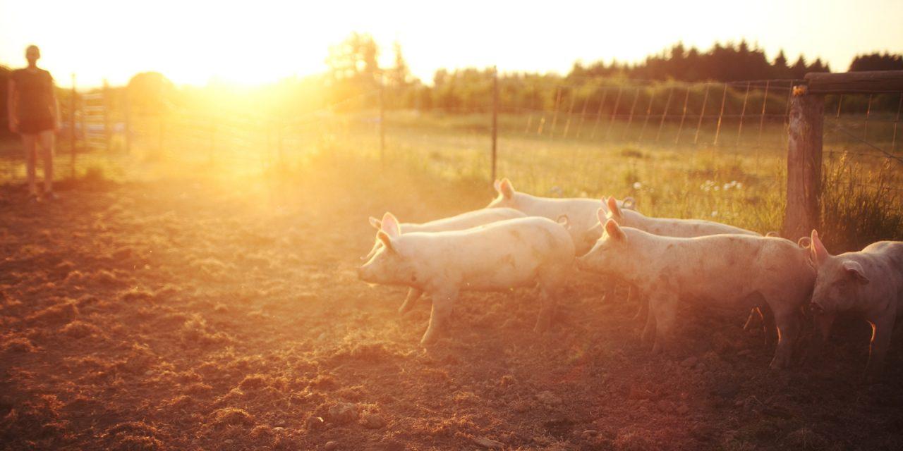 Hog Farmers Working to Solve Processor Bottleneck